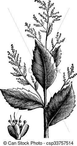 Vector Clip Art of Chenopodium anthelminticum or Wormseed.