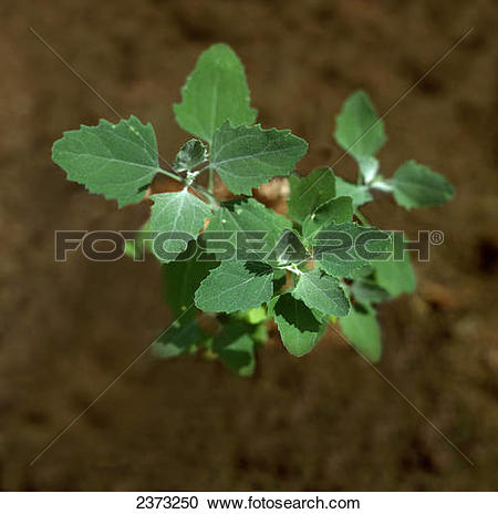 Pictures of Lambs Quarters, Melde, Goosefoot (Chenopodium album.