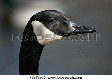 Stock Image of Goosey Goosey Gander k3872965.