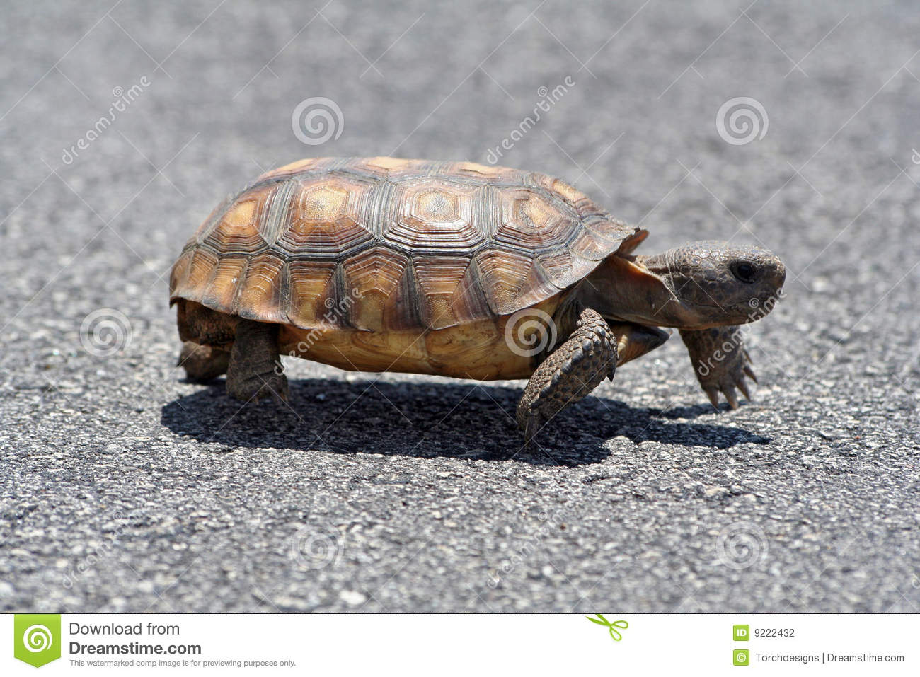 Gopher Tortoise Stock Photos, Images, & Pictures.