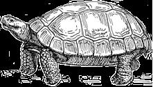 Gopher Tortoise Clipart.