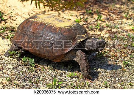 Stock Image of Gopher Tortoise (Gopherus polyphemus) k20936075.