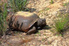 Gopher Tortoise (Gopherus Polyphemus) Royalty Free Stock.