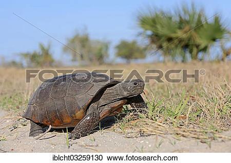 "Stock Photography of ""Gopher Tortoise (Gopherus polyphemus."