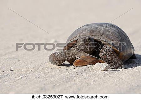"Picture of ""Gopher Tortoise (Gopherus polyphemus), Florida, United."