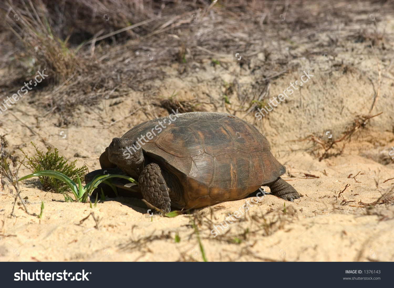 Gopher Tortoise (Gopherus Polyphemus).