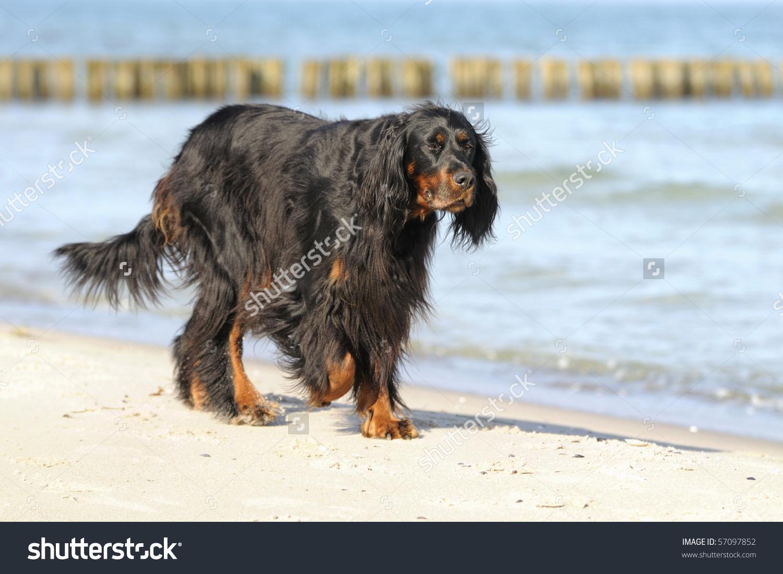 Gordon Setter Hunting Dog Female On Stock Photo 57097852.