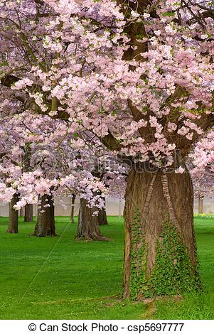 Picture of Gorgeous cherry trees blossoming.