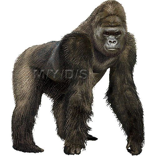 17 Best ideas about Gorilla Clipart on Pinterest.