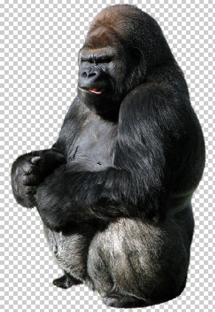 Gorilla PNG, Clipart, Gorilla Free PNG Download.