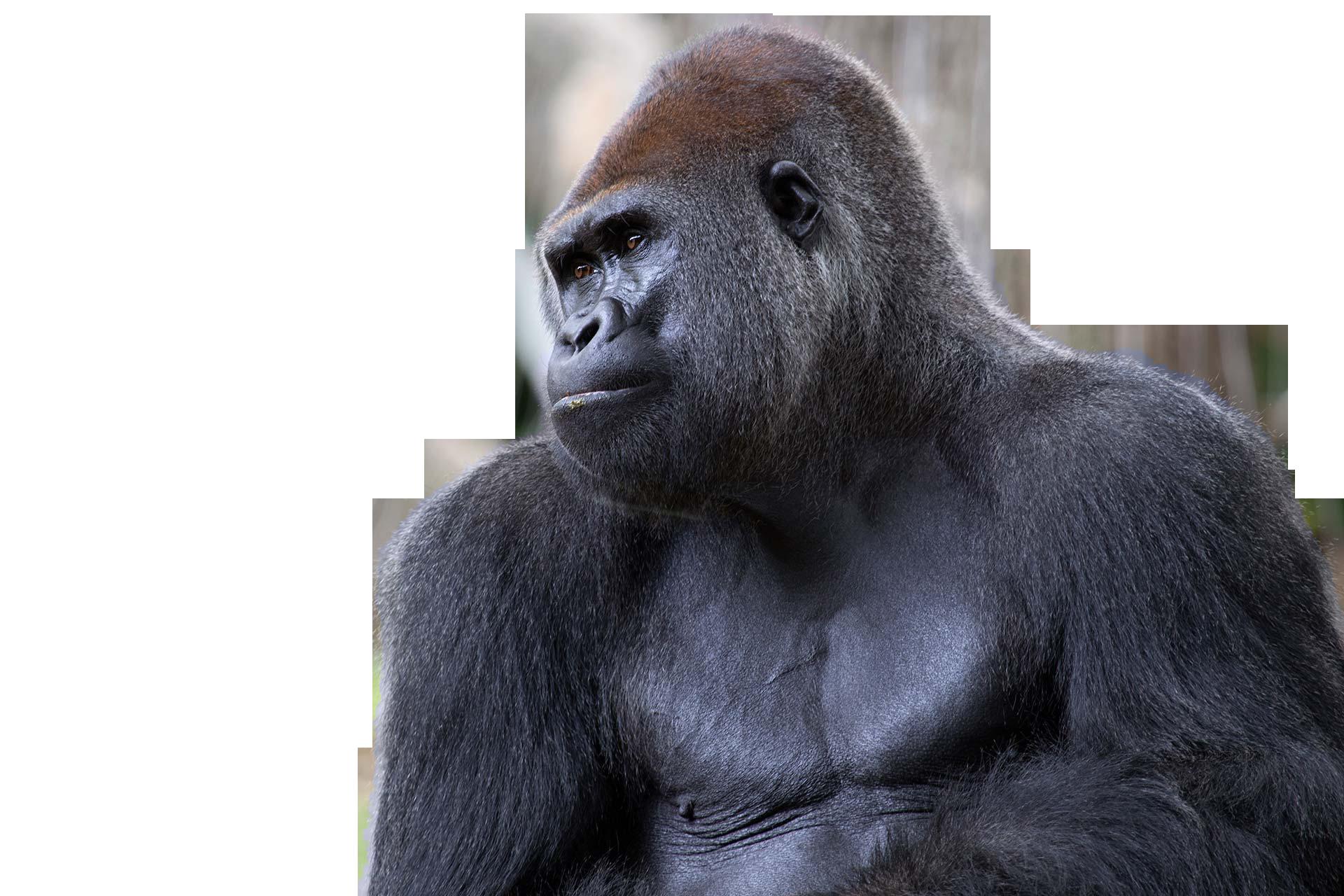 gorilla png image 8.