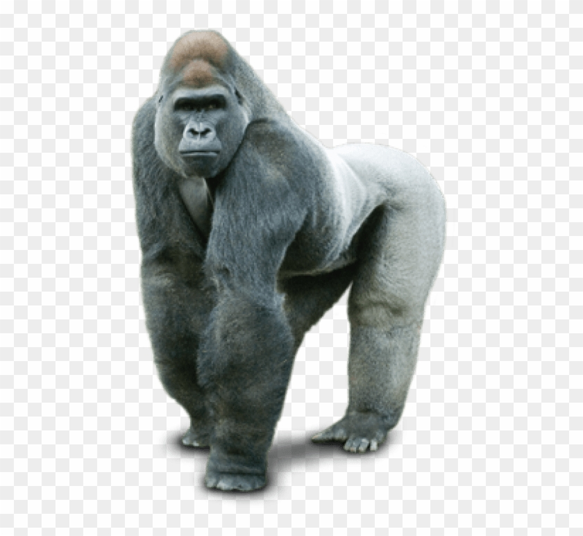 Free Png Download Gorilla Png Images Background Png.