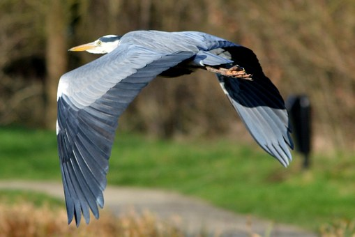 Herons, Flying.