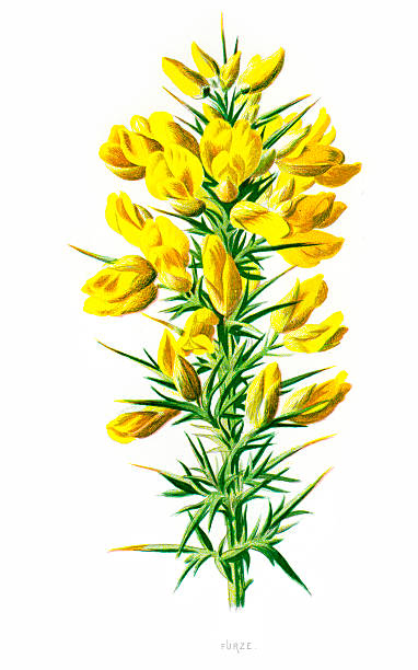 Gorse Flowers Clip Art, Vector Images & Illustrations.