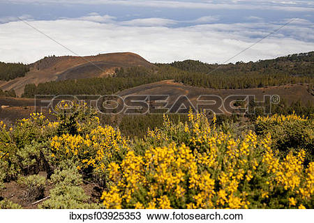 """Stock Photo of """"Gorse in full bloom, yellow flowers, black."""