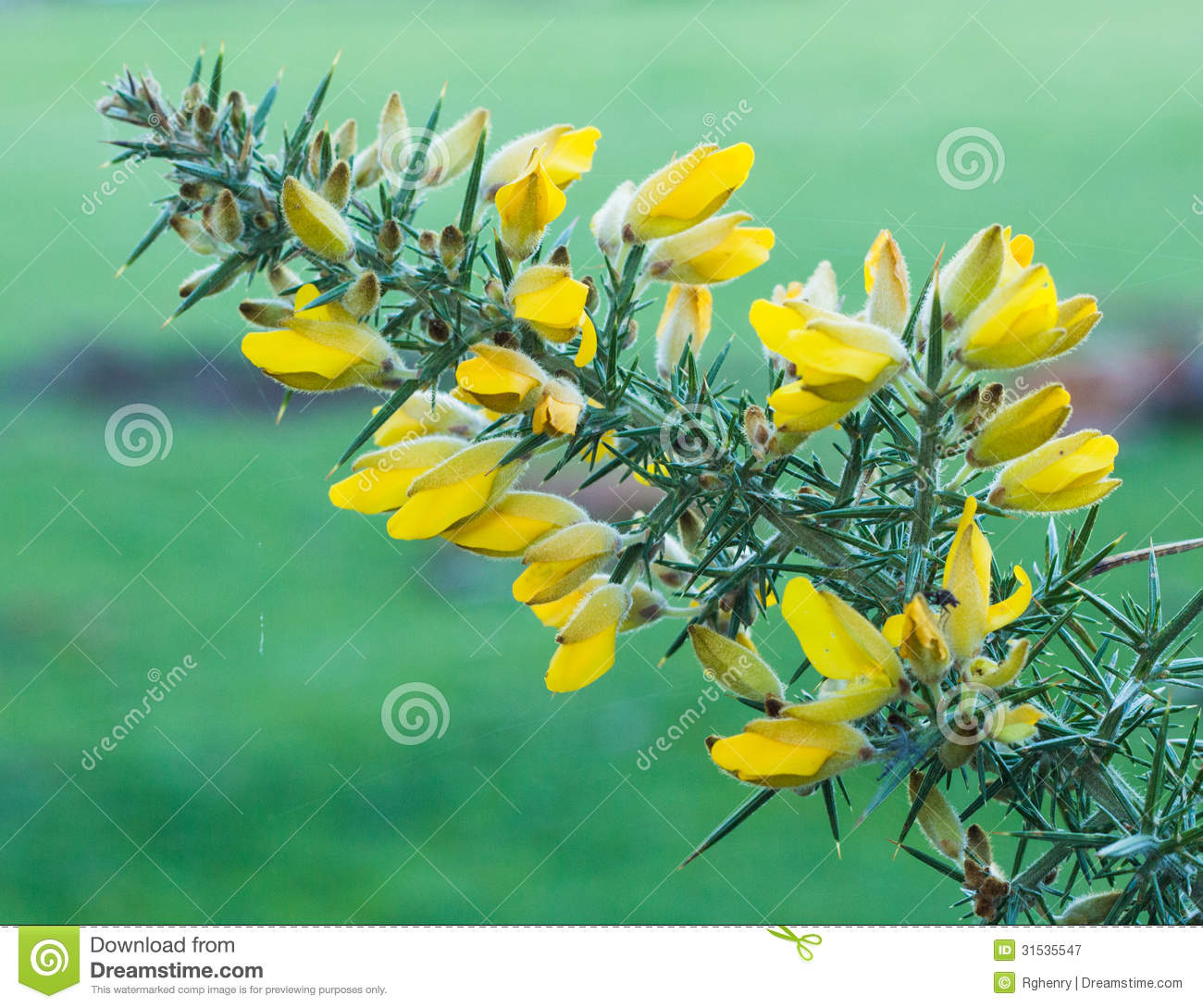 Flowering Gorse Royalty Free Stock Photography.
