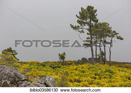 """Stock Photography of """"Barren highlands with gorse in bloom, Serra."""