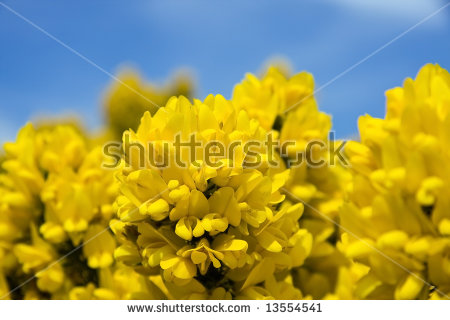 Gorse Flower In Bloom In The Scottish Highlands Stock Photo.