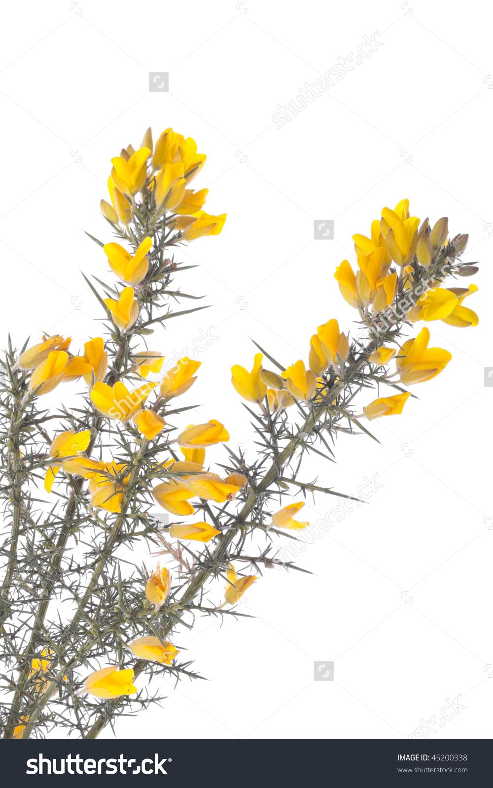 Yellow Gorse Flowers Shrub Isolated Over White Stock Photo.