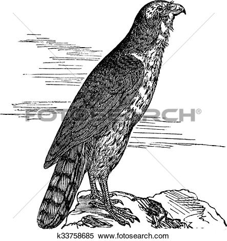 Clipart of Northern Goshawk or Accipiter gentilis. Vintage.