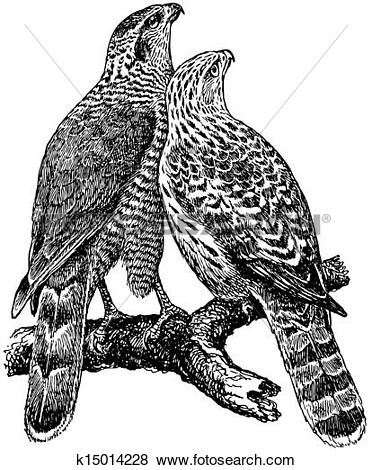 Clip Art of Birds Northern Goshawk k15014228.