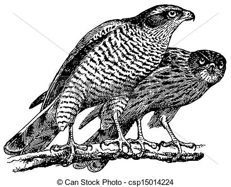 Vector Illustration of Birds Northern Goshawk csp15014224.