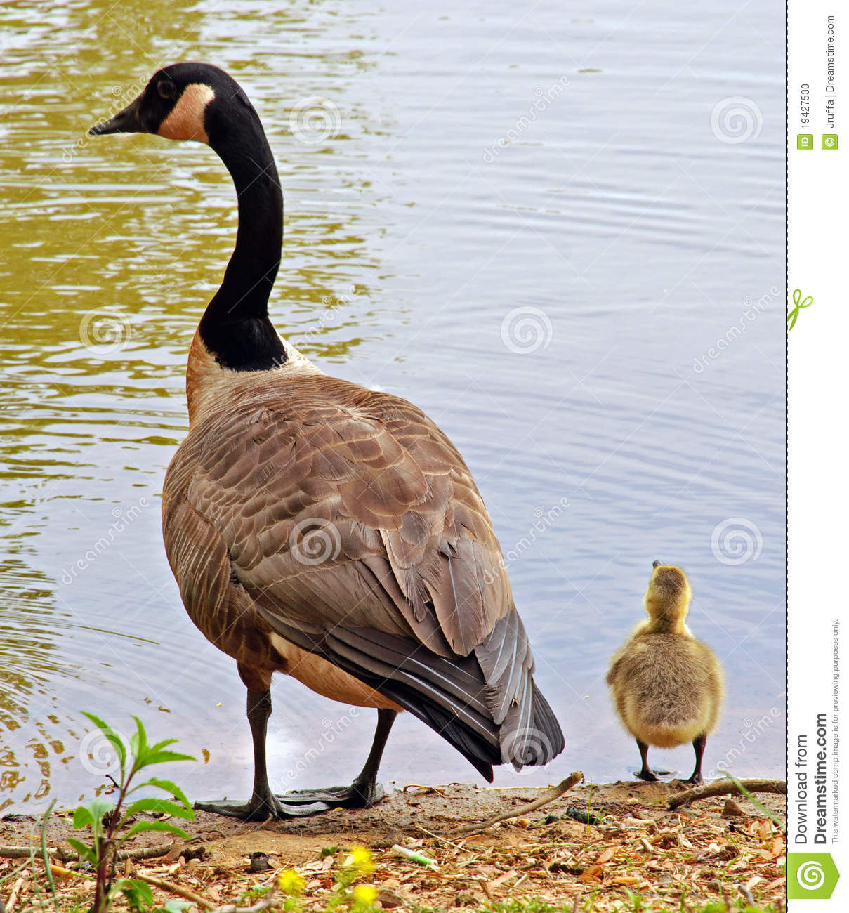Clip Art Geese and Gosling's.