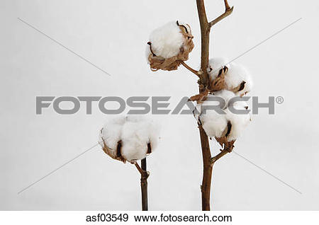 Stock Photograph of Cotton boll stem (Gossypium) close.
