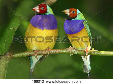 Stock Photo of two Gouldian Finches / Chloebia gouldiae 166012.