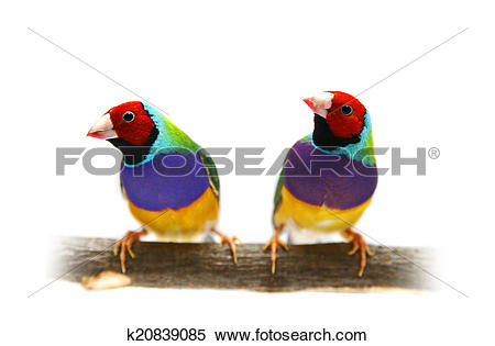 Stock Image of Gouldian Finch on white background k20839085.
