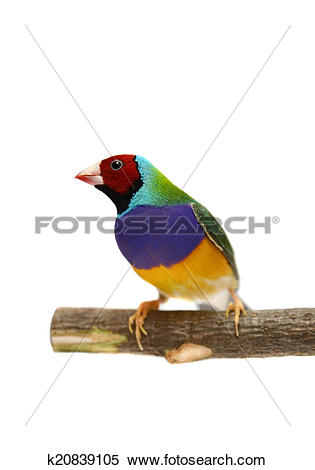 Stock Image of Gouldian Finch on white background k20839105.