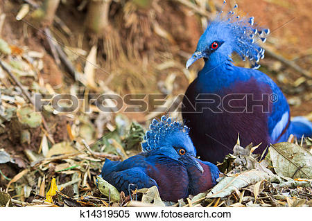 Stock Image of Exotic Bird Goura Victoria k14319505.