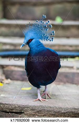 Pictures of Victoria crowned pigeon. Exotic Bird Goura Victoria.