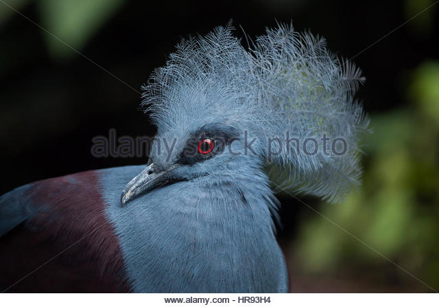 Goura Cristata Western Crowned Pigeon Stock Photos & Goura.