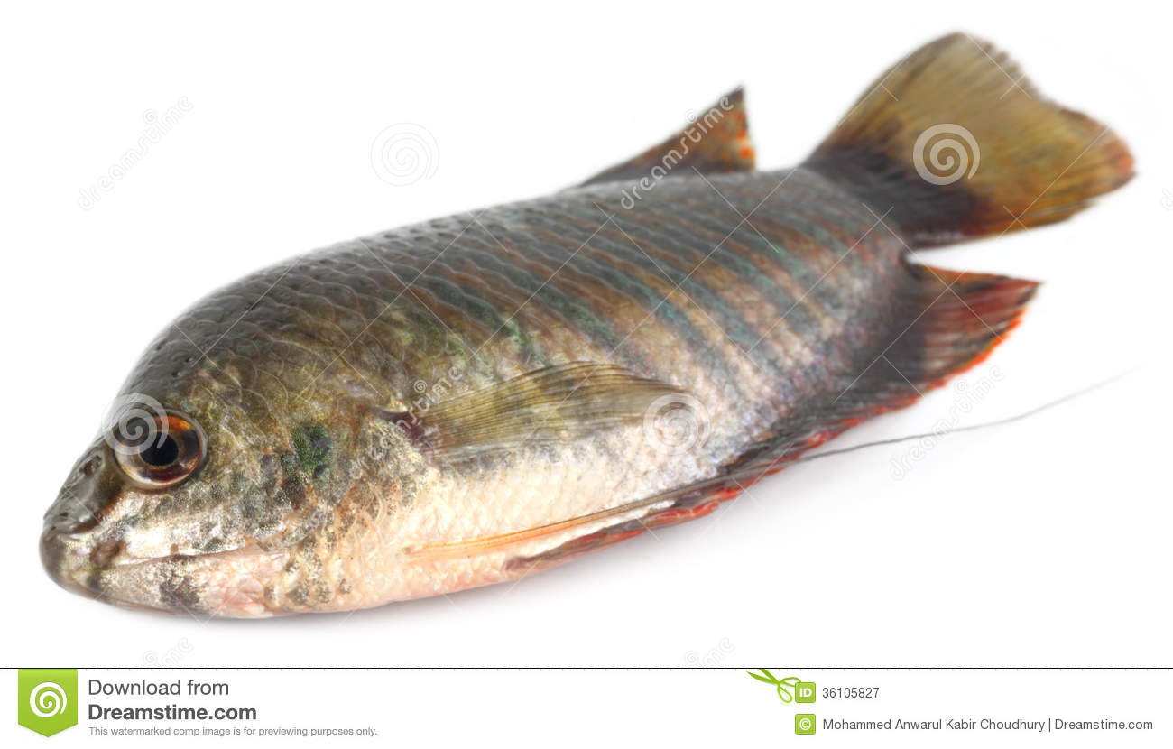 Banded Gourami Of Southern Asia Royalty Free Stock Photography.