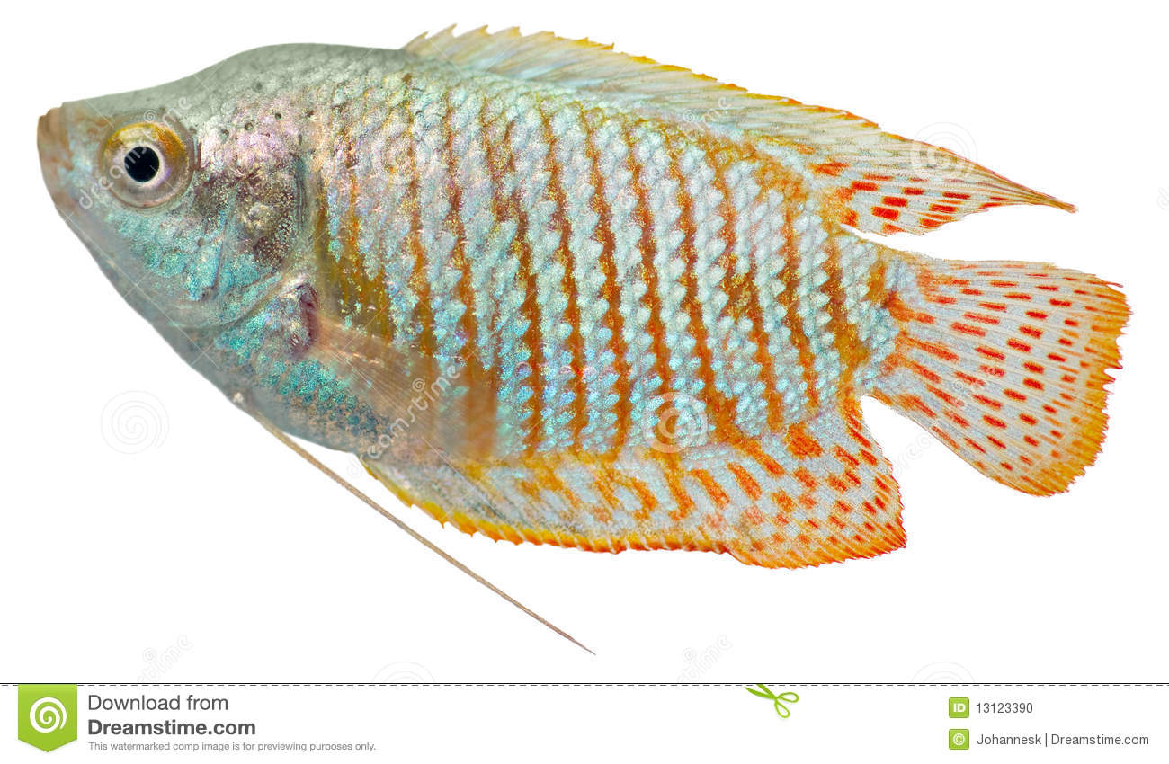 Dwarf Gourami Fish Stock Photo.