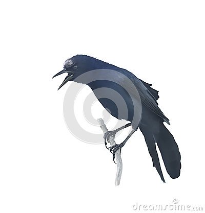 Grackle Stock Illustrations.