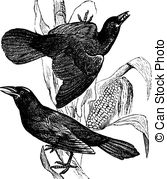Grackle Clipart and Stock Illustrations. 4 Grackle vector EPS.