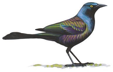 Grackle clipart #18