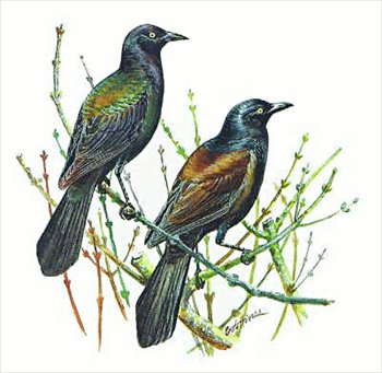 Free Grackle Clipart.