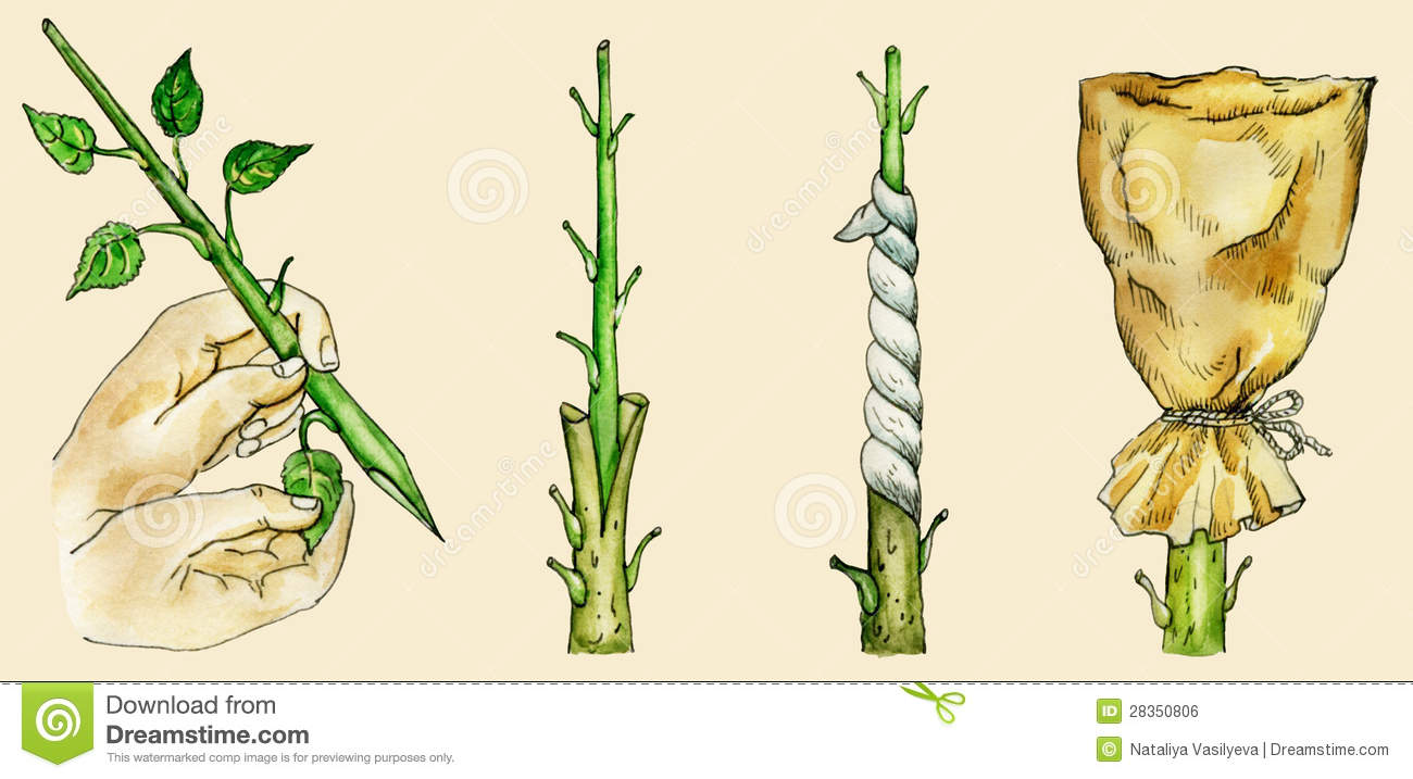 Tree`s Cleft Grafting Methods Royalty Free Stock Image.