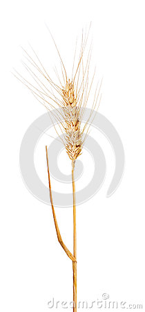 Isolated Ear Of Dry Wheat With Awns Royalty Free Stock Photos.