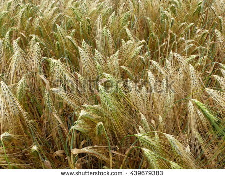 Hordeum Vulgare Stock Photos, Royalty.