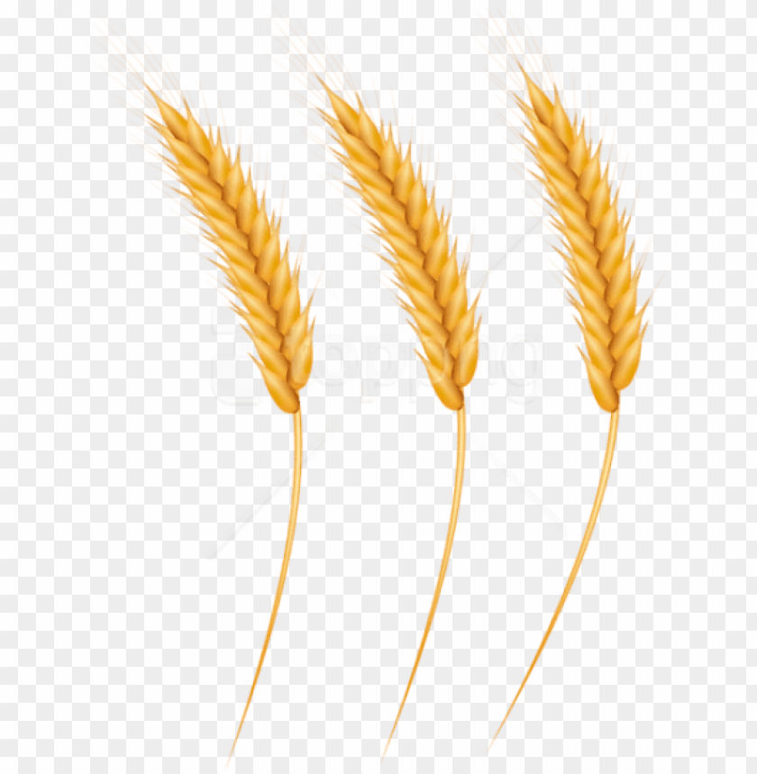Download free png download wheat grains clipart png photo.