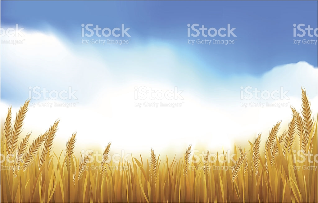 Paddy Or Grain Field stock vector art 165683936.