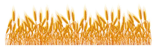 Wheat Stock Illustrations.