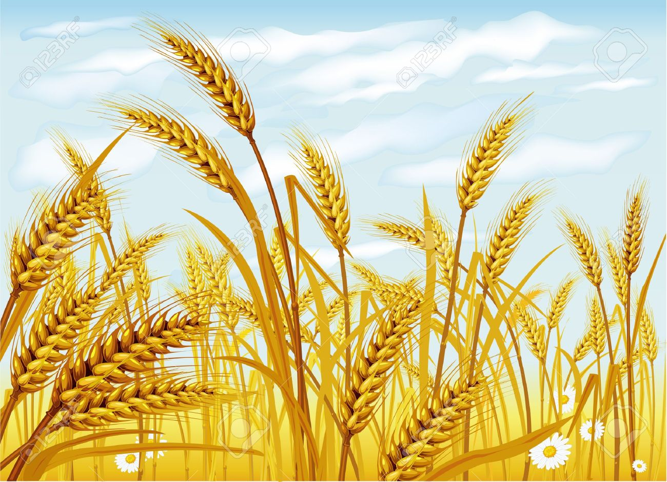 Wheat In The Field Royalty Free Cliparts, Vectors, And Stock.