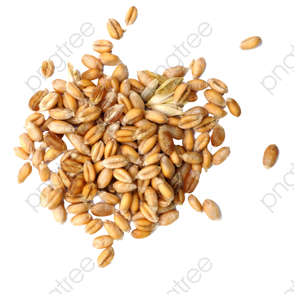 Wheat Grain, Wheat Clipart, Wheat, Grains PNG Transparent Image and.