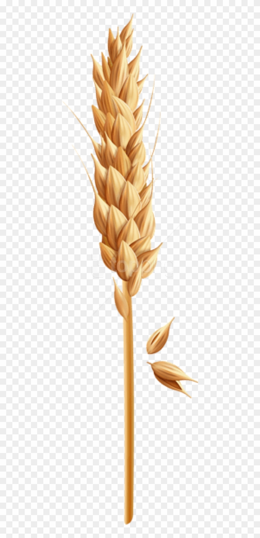 Free Png Download Wheat Grain Clipart Png Photo Png.