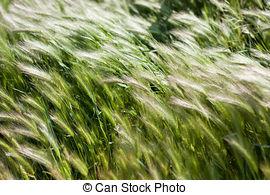 Graminaceous plant Stock Photo Images. 32 Graminaceous plant.